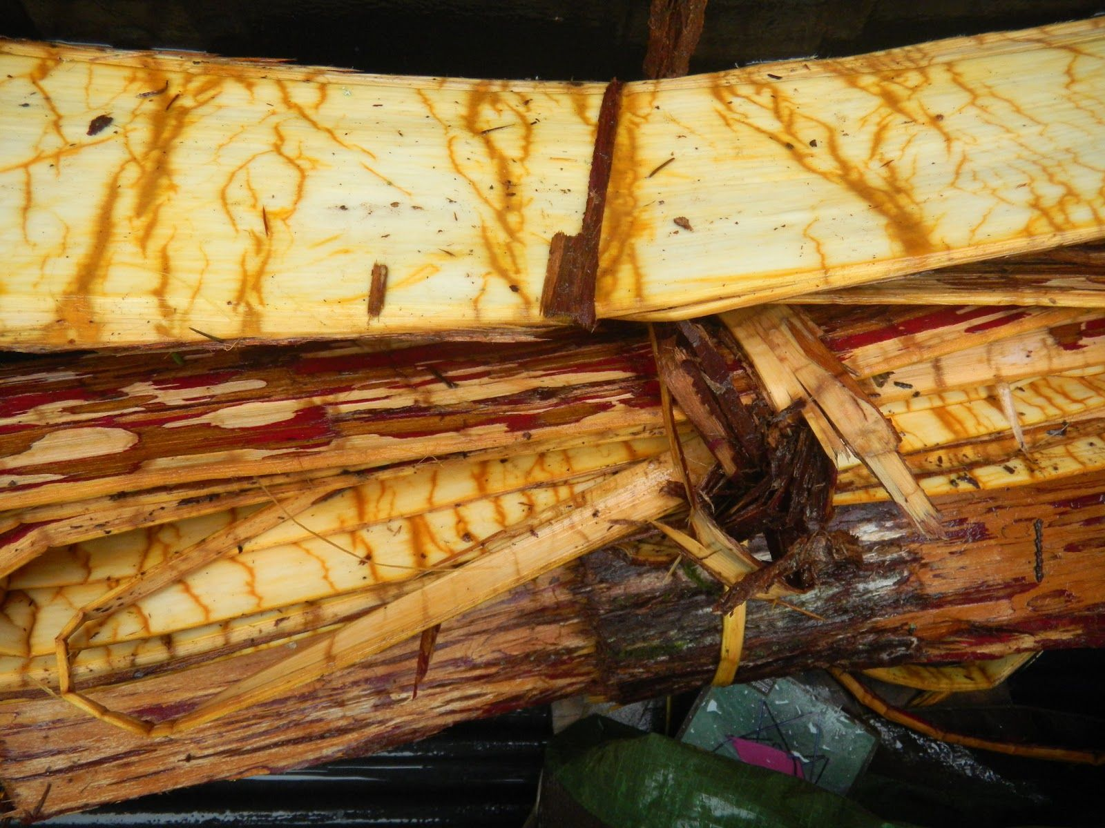 254 best roots images on pinterest native americans native art giihlgiigaa haida weaver how to harvest cedar bark harvestweavingrootspreschoolbasketskid fandeluxe Ebook collections