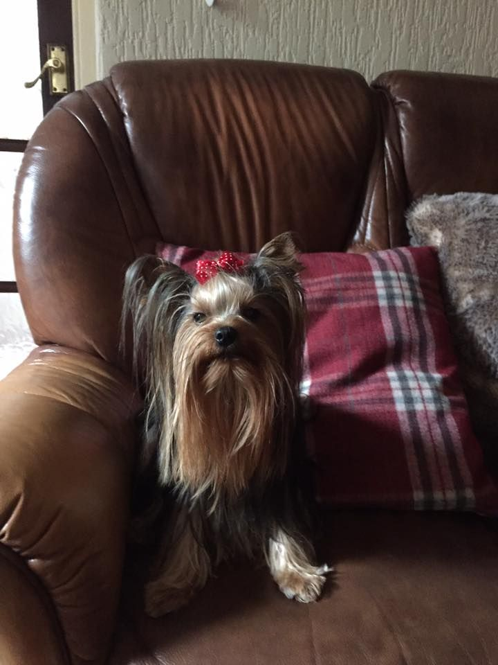 Pin by Kathy Lane on Pets Yorkie, Yorkie lovers, Dog lovers