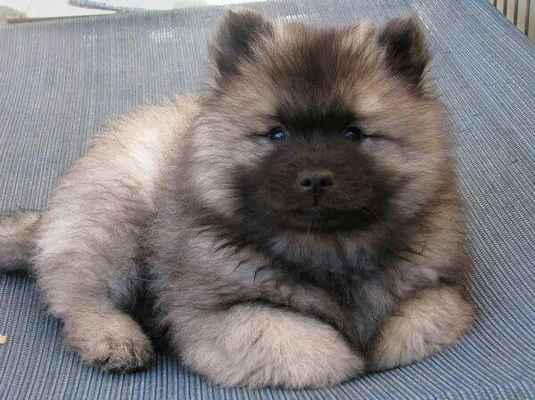 Fluffy Dog Keeshond Puppy Keeshond Dog Cute Animals