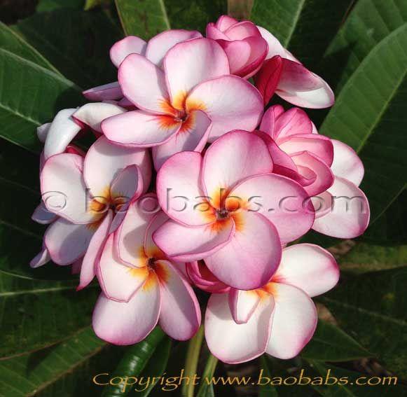 Plumeria Rubra Tornado Plumeria Frangipani Hawaiian Flowers