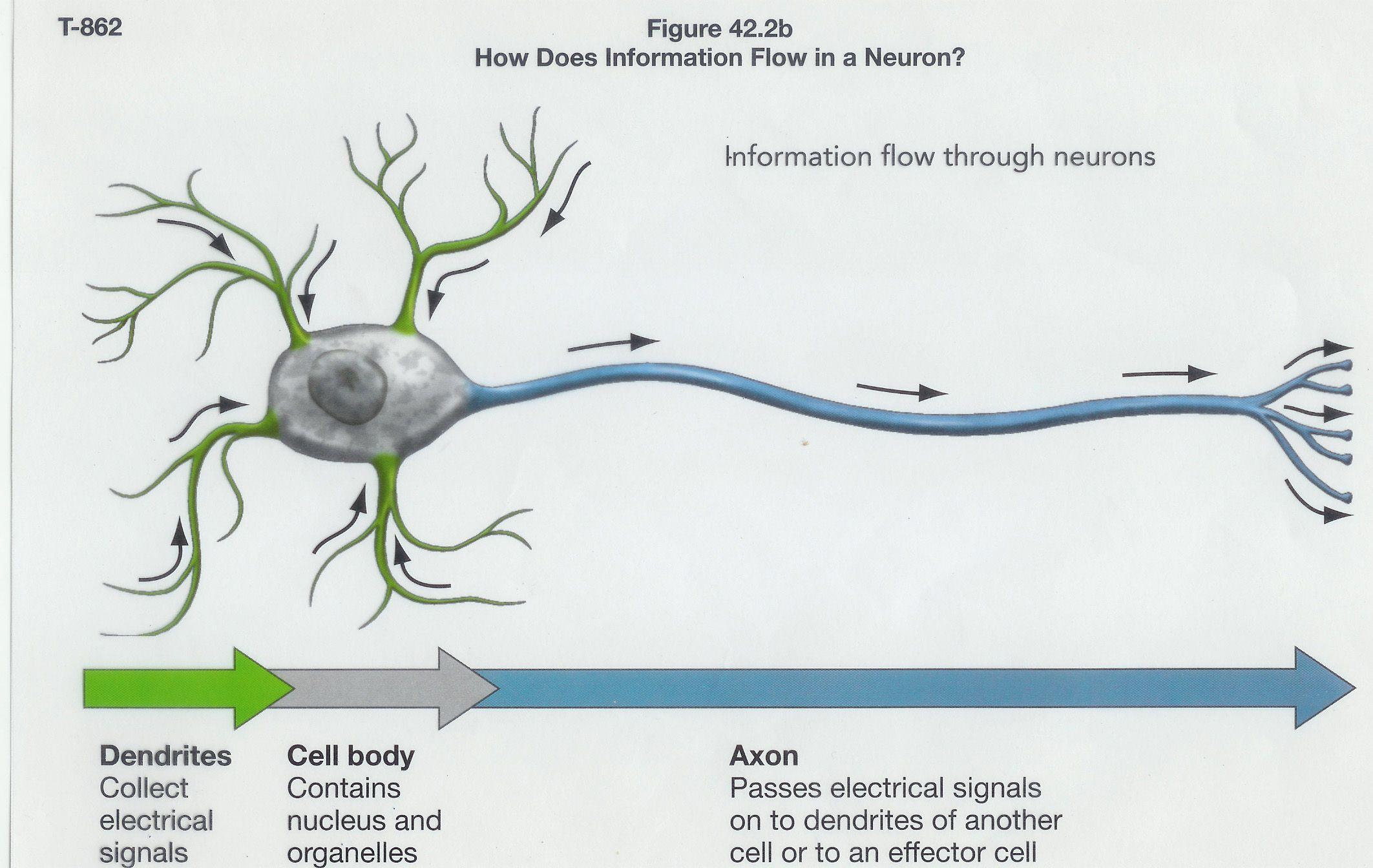 Neuron model bing images biology pinterest neuron model neuron model bing images pooptronica Choice Image