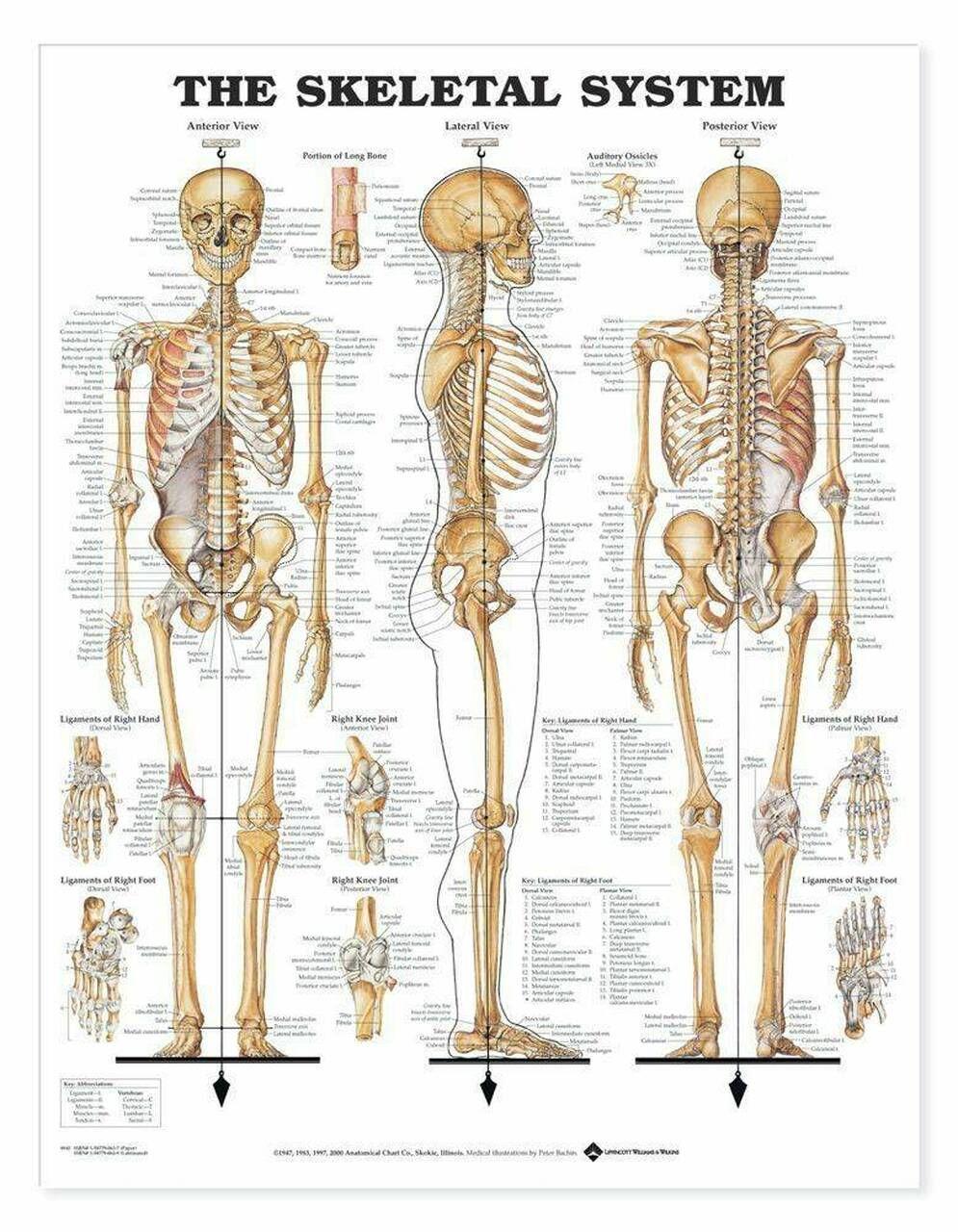 12+ Skeletal System Anatomical Chart