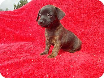 Richmond Va Chihuahua Dachshund Mix Meet Chiweenie I A Puppy
