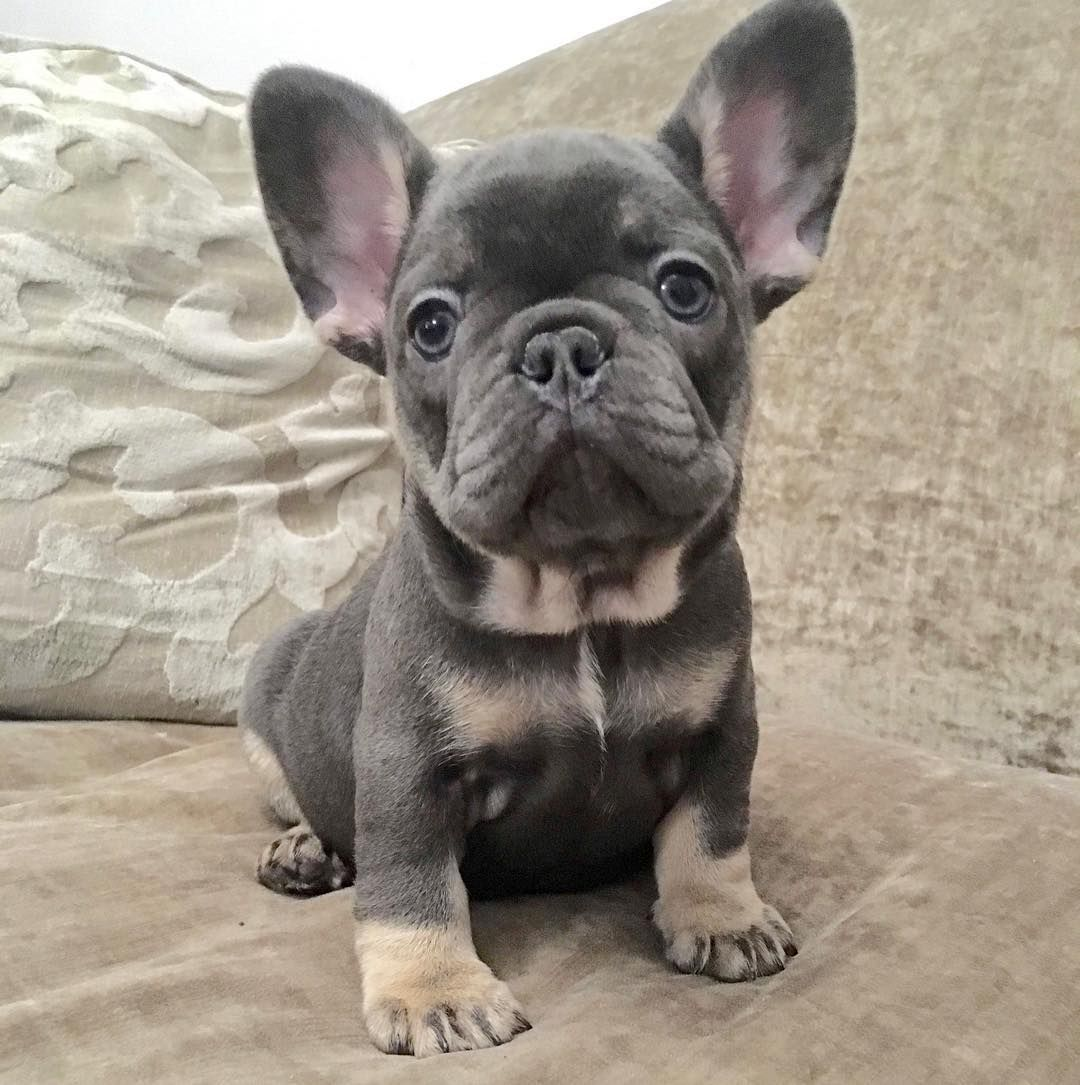 Jt Jessica Thompson On Instagram Hello Bulldog Puppies French Bulldog Puppies French Bulldog Dog
