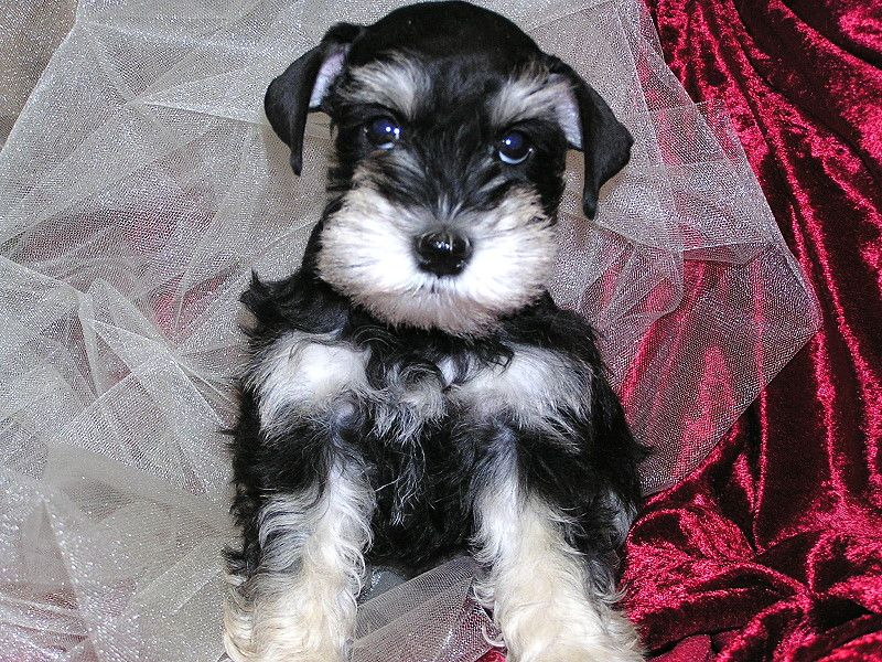 Annie Black And Silver Phantom Female Schnauzer Puppy Best Dog Breeds Miniature Schnauzer Puppies