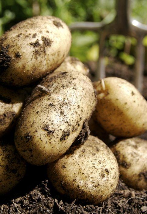 Planter les pommes de terre sous paillis   Cultiver des pommes de terre, Comment planter des ...