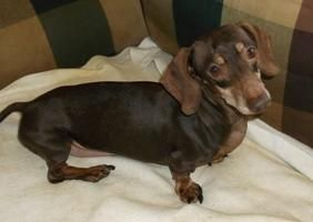 Rudy Is An Adoptable Dachshund Dog In Georgetown Ky Rudy Is A