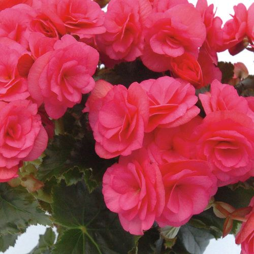 Dragone Rieger Begonia Begonia X Hiemalis Annual Flowers Container Plants Plants
