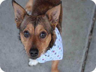 Denver Co Pembroke Welsh Corgi Mix Meet Rocky A Dog For Adoption Http Www Adoptapet Com Pet 11942085 Denver Colora Welsh Corgi Mix Kitten Adoption Pets