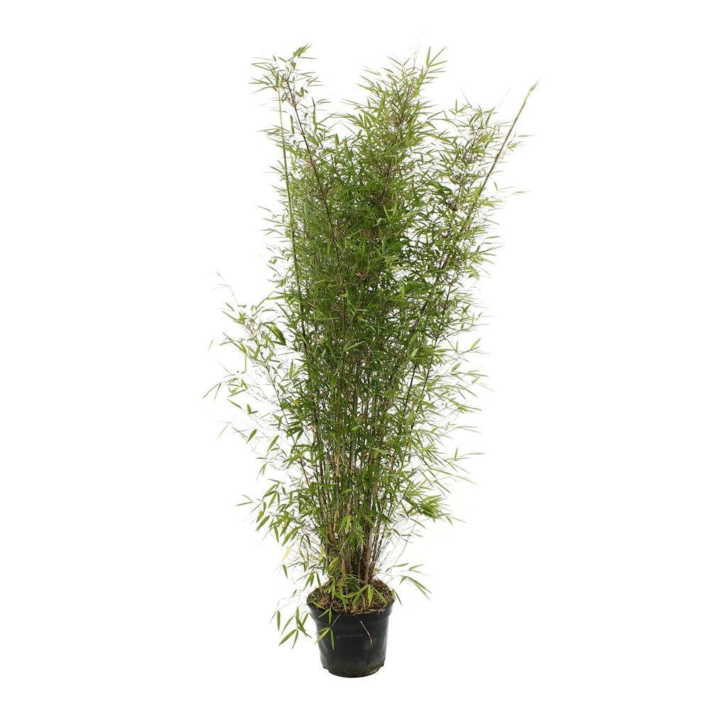 Fargesia angustissima 100 110 cm 5l balcon plante for Bonsai artificiel ikea