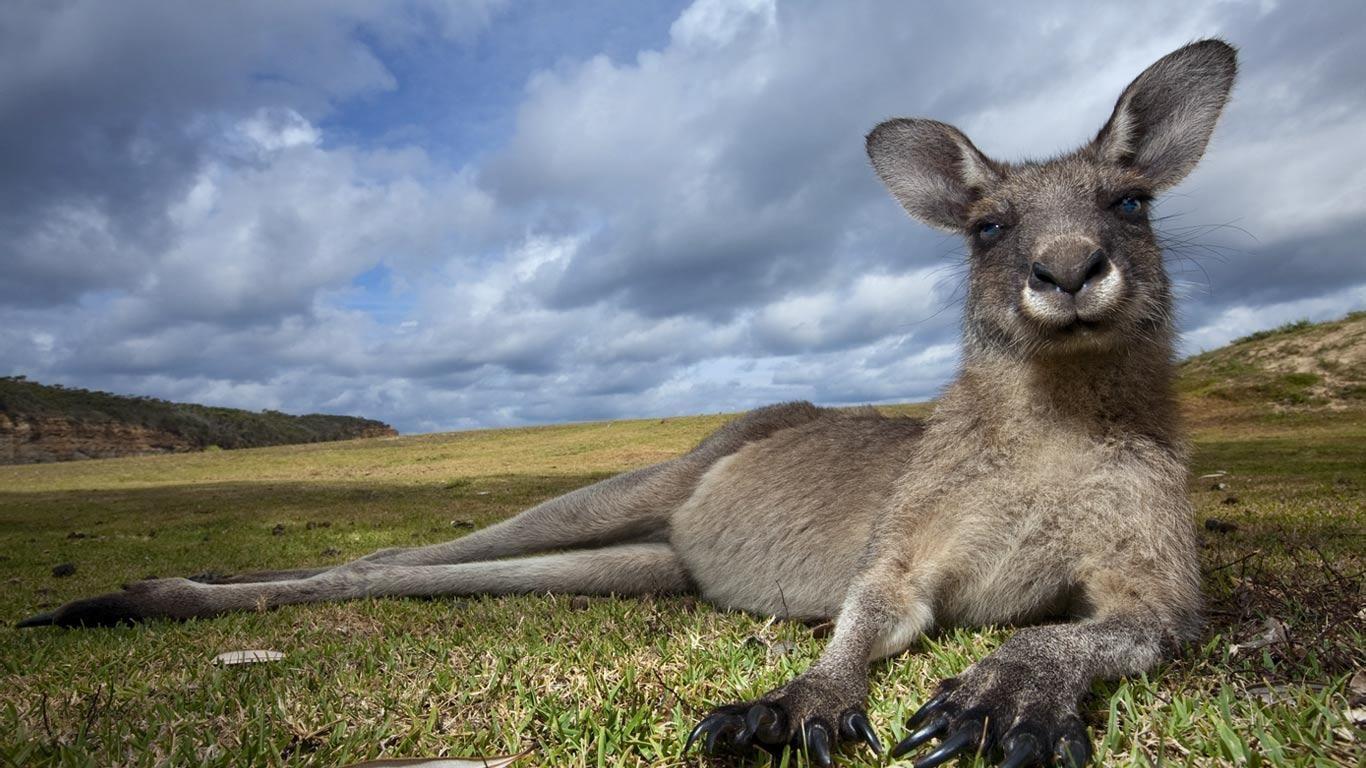 eastern grey kangaroo in murramarang national park new south