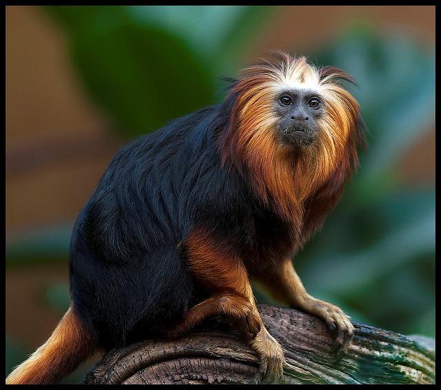 Black Lion Tamarin