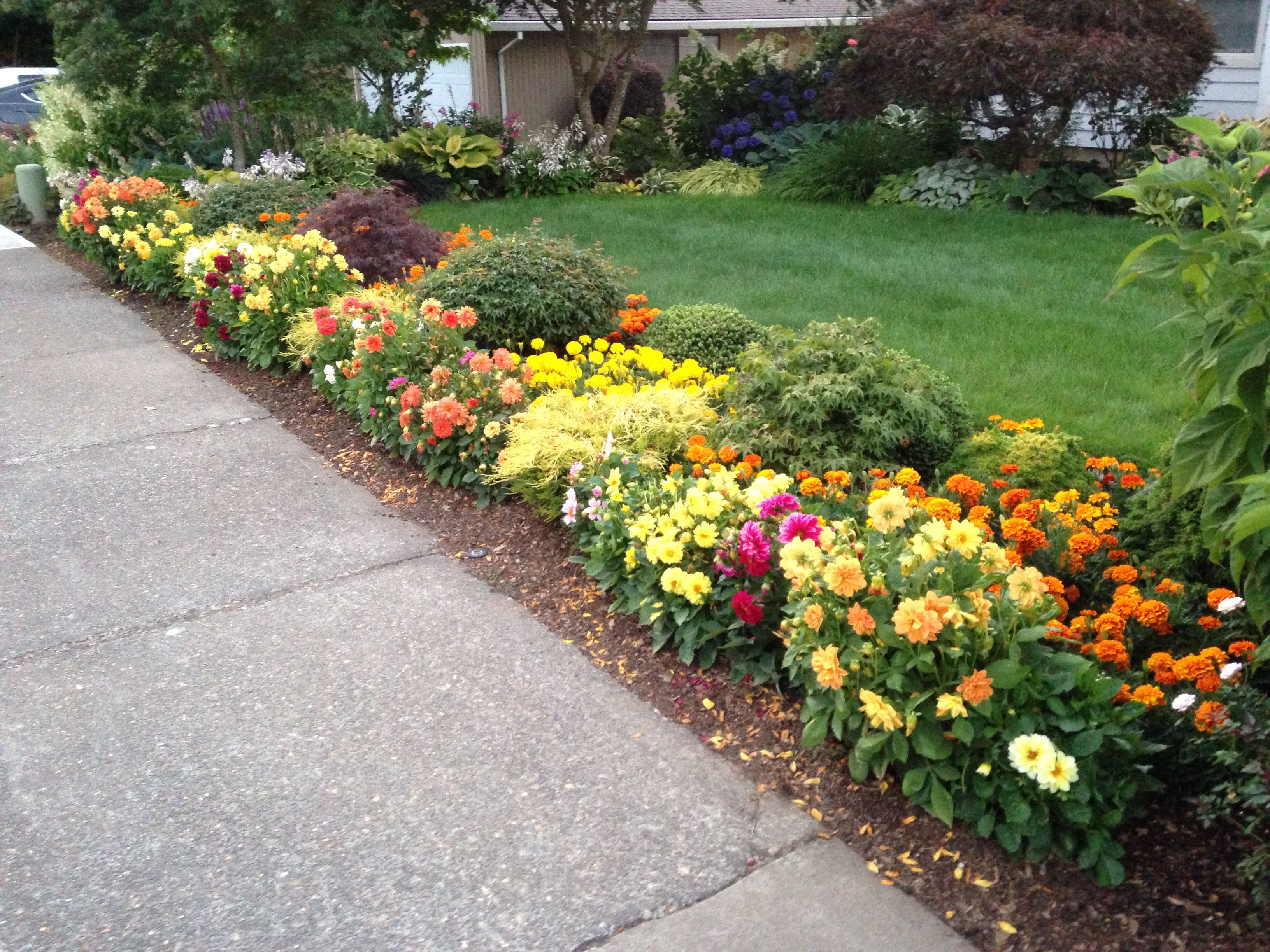 Front flower bed by sidewalk mini dahlias summer 2014 for Front yard flower beds