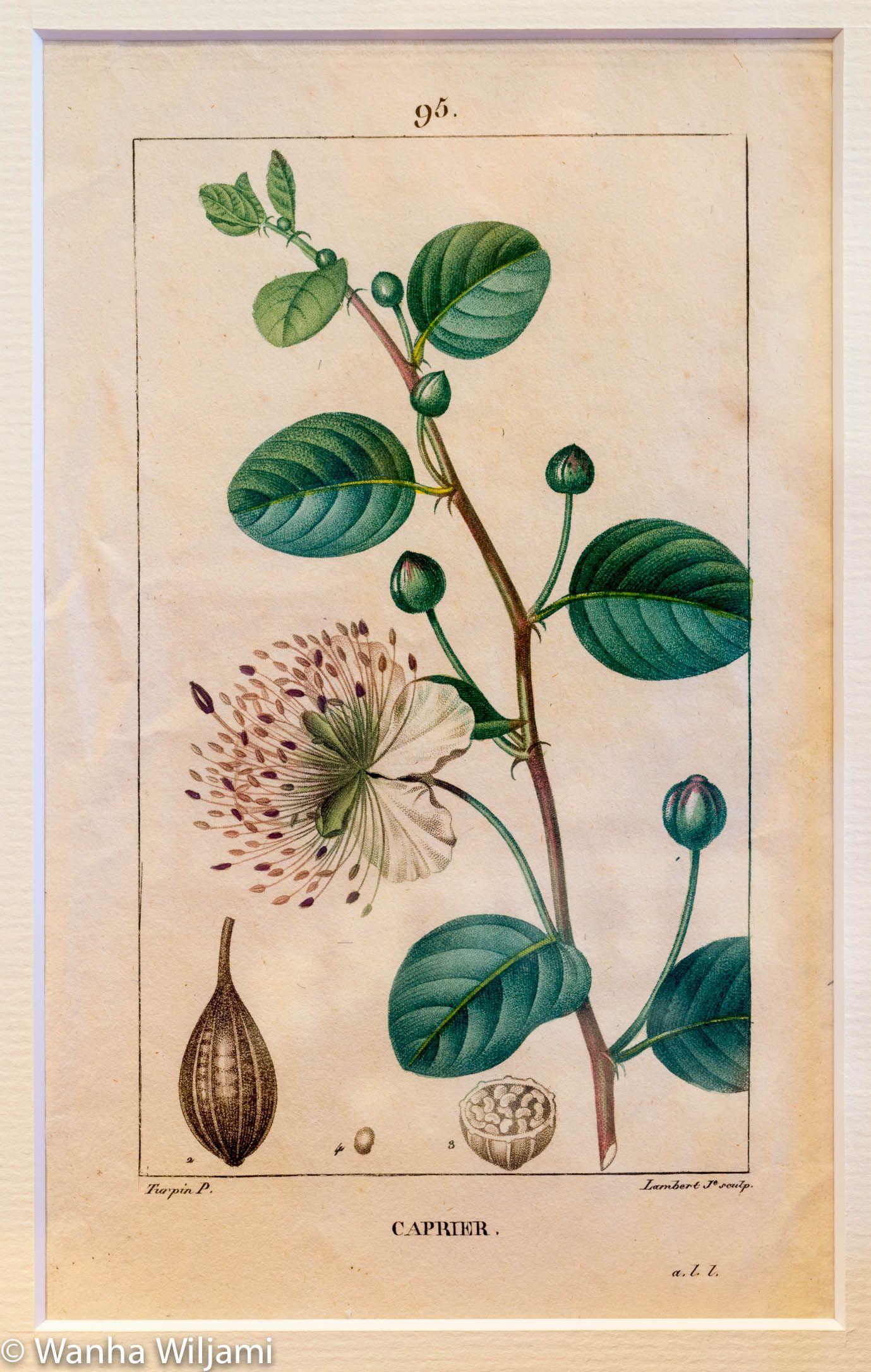 Kuvassa kasvi Kapris.  Alkuperäinen gravyyri vuodelta 1816. Käsinväritetty.  Kuvat ovat kirjasta: Flore medicale, Pierre Turpin (1816)  Kuva on kehystetty.
