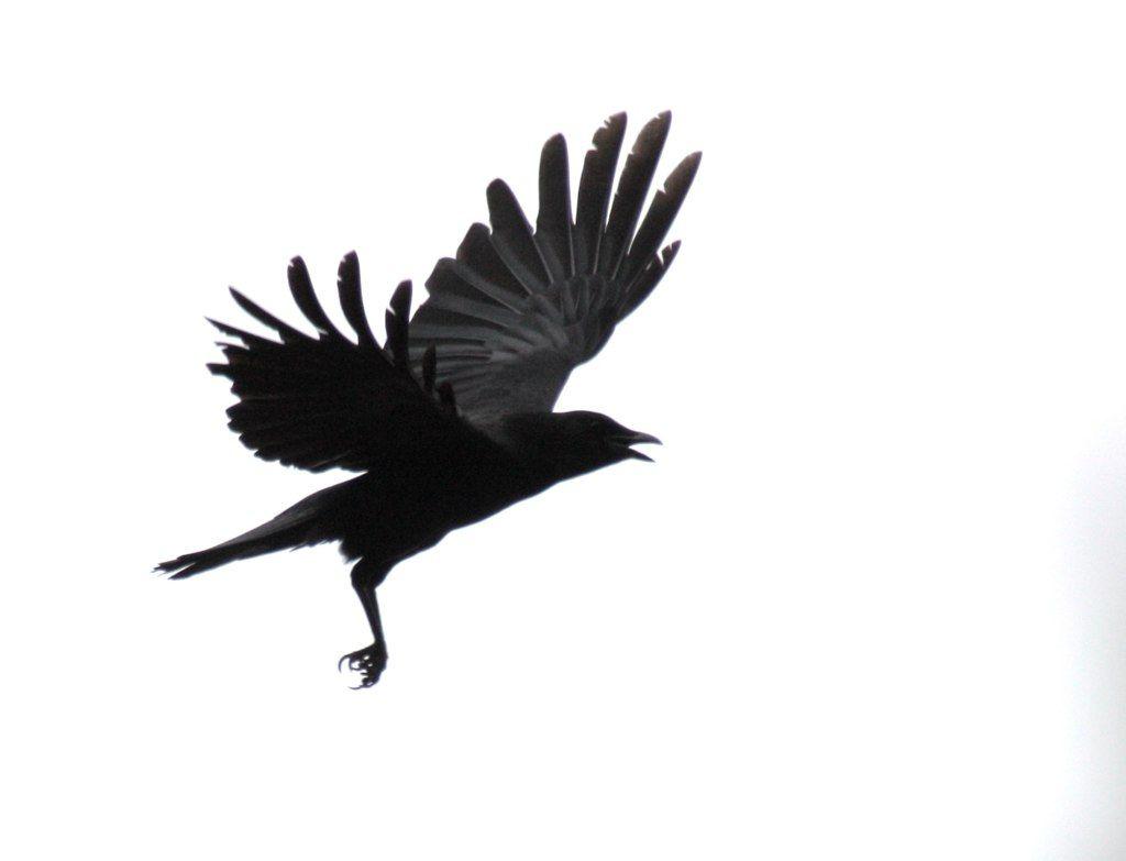 black dove white raven pdf