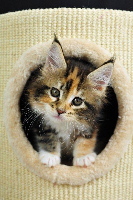 Funny Cat Origami Maine Coon kitten LOL LOL Kitten Photo