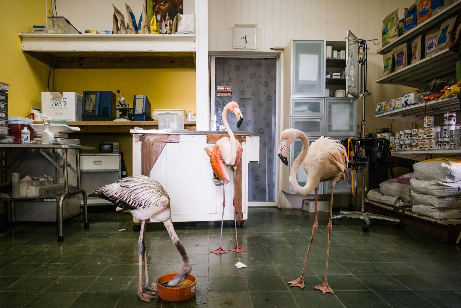 Flamingo In Huis : These are real flamingo s in rehab at a veterinary office a