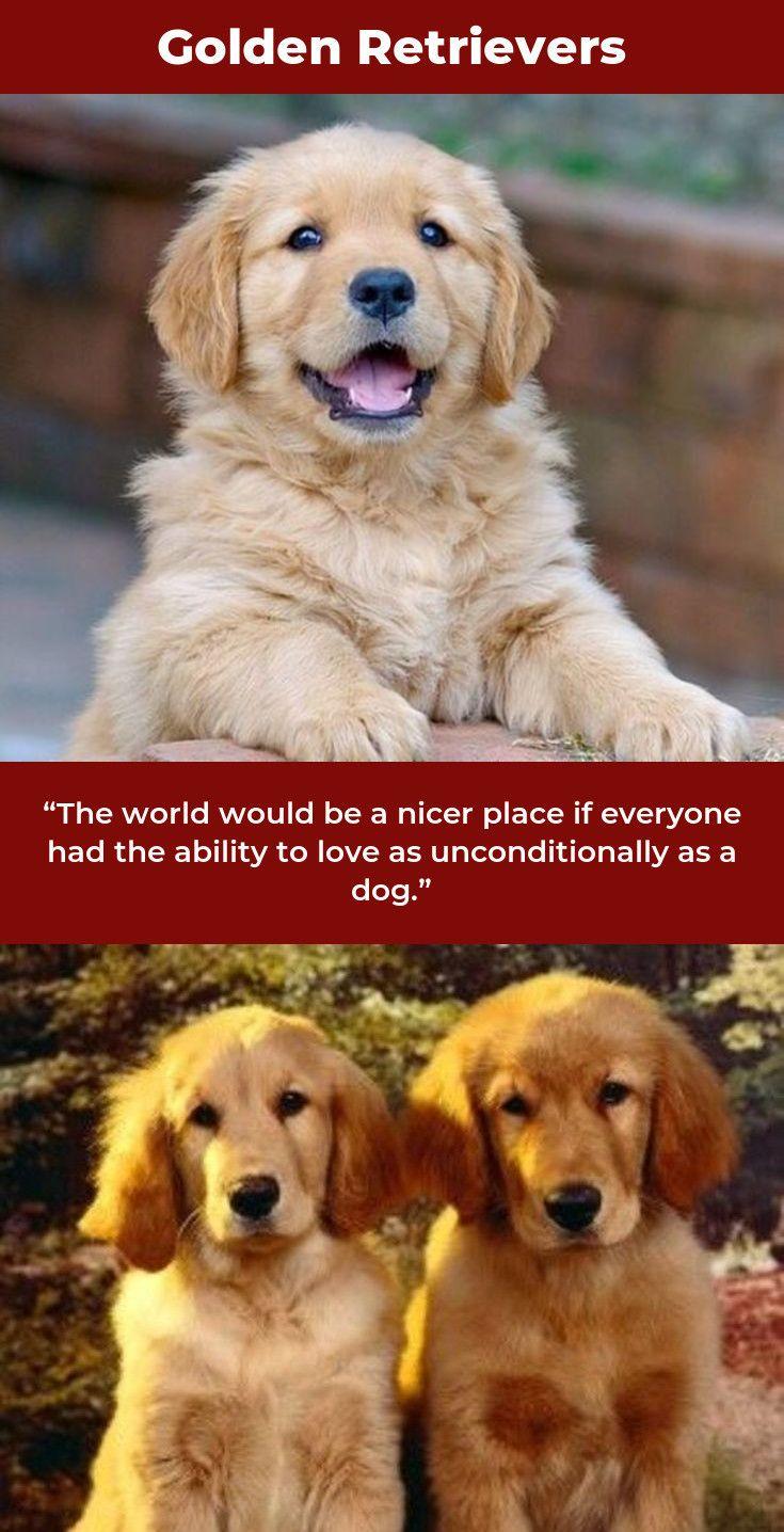 Golden Retrievers Puppy Goldenretrieverlovers