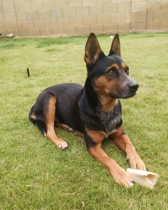 Australian Kelpie X Blue Heeler Dog Kennel Dogs And Puppies Puppies