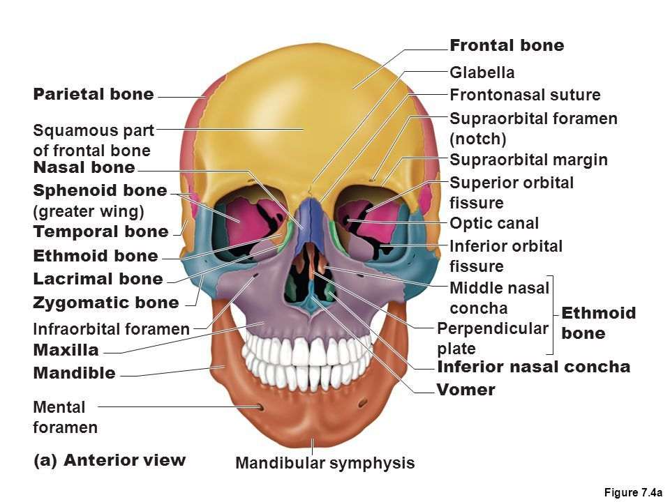 sphenoid bone and ethmoid bone bones of the axial skeleton the skull ...