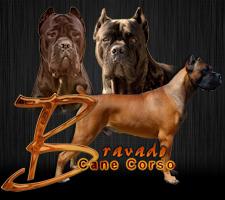 Bravado Cane Corso Cane Corso Cane Corso Breeders Cane