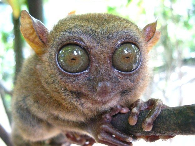 The Tarsier | The 15 Goofiest Animals Who Make The World A Happier Place