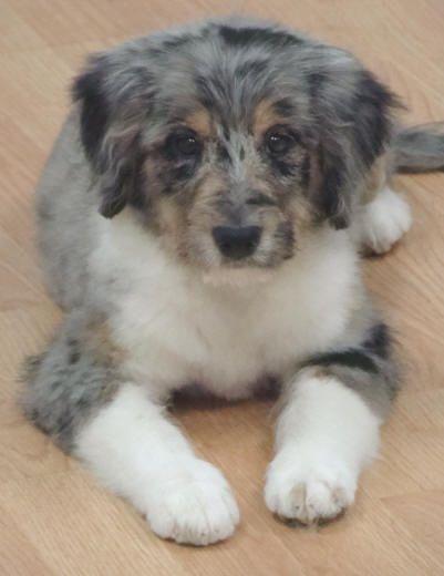 Blue Merle Aussie Doodle Puppy Doodle Dog Breeds Dogs Aussie