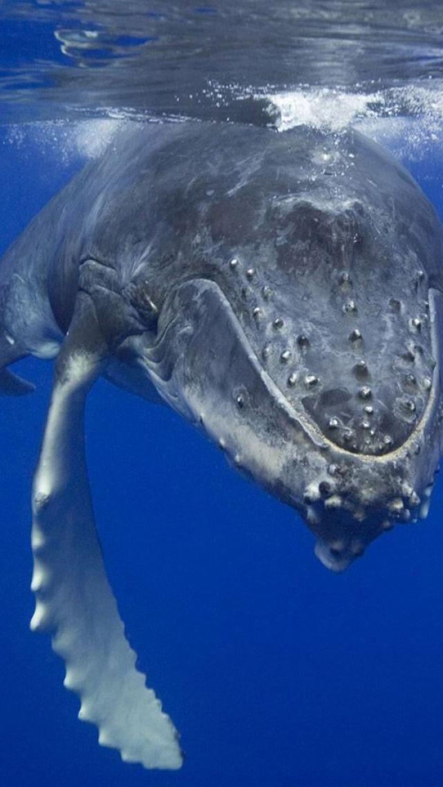 Baleia corcunda.