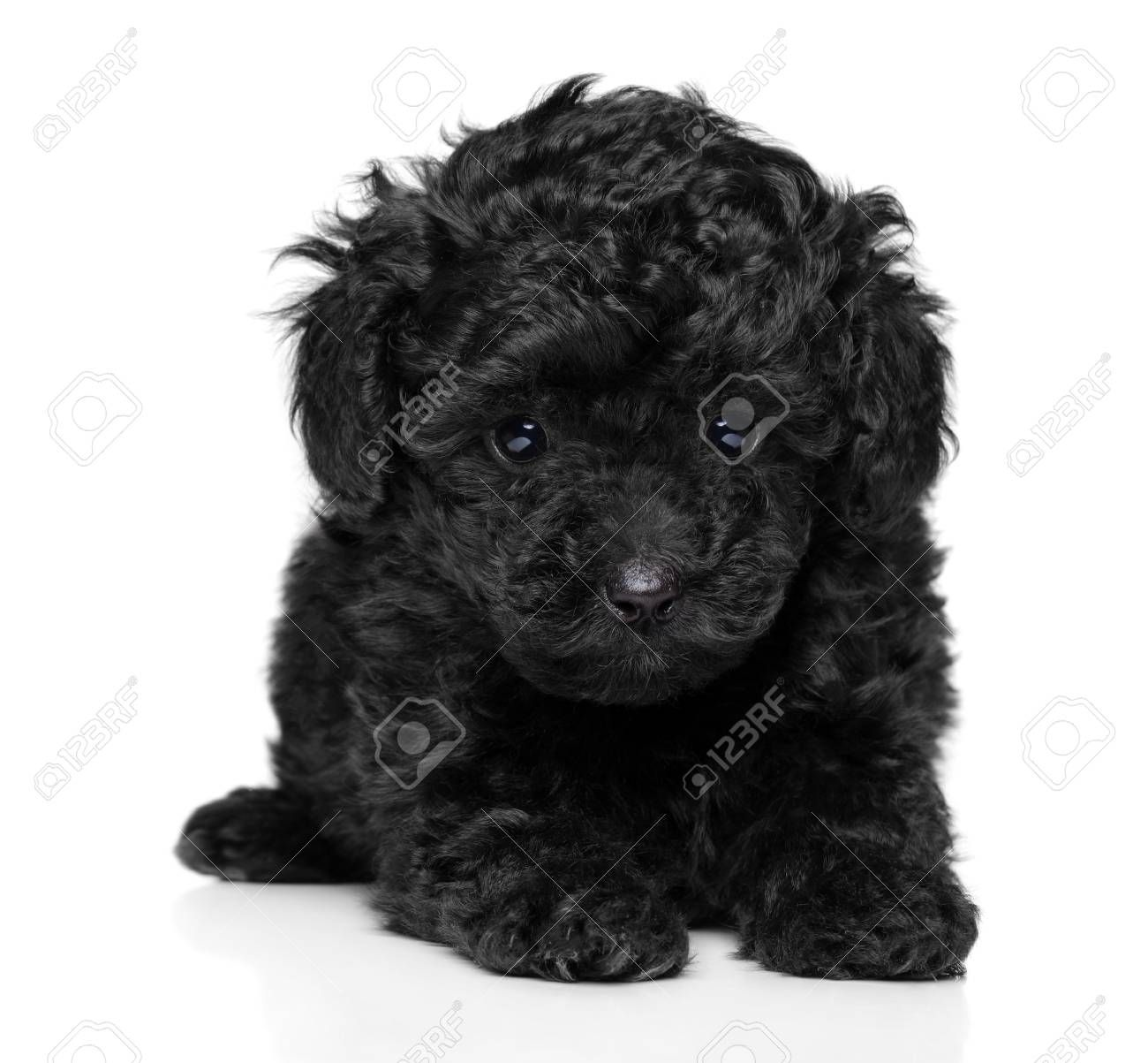Close Up Of Black Toy Poodle Puppy On White Background Stock Photo