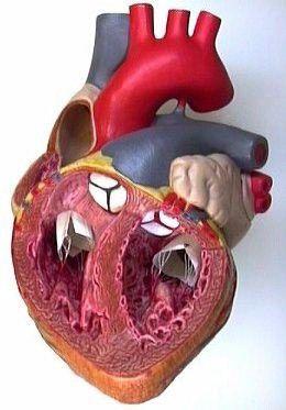 Heart Anatomy Interior View Heart anatomy, Cardiac