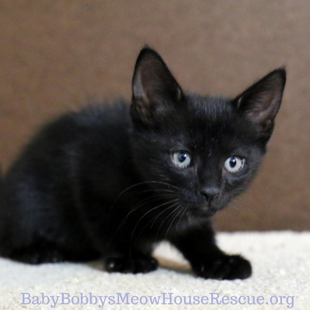 Little Black Jag Kitten Available For Cat Adoption Images Of Cute Cats Pretty Cats Kittens Cutest