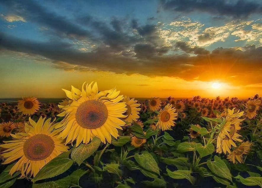 girasoli tramonto - Cerca con Google | Fotografia di fiori ...