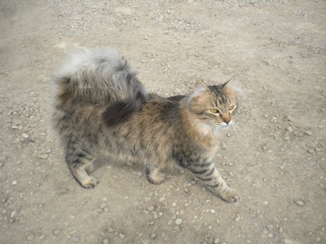 Pictures Of American Ringtail Cat Breed Fluffy Black Cat Cats