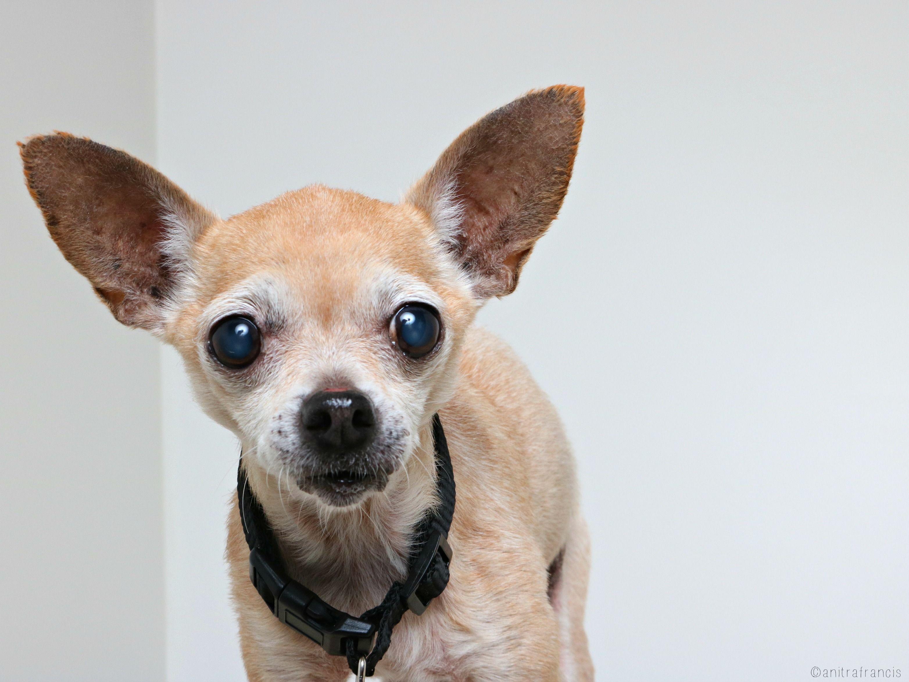 Chihuahua Dog For Adoption In Eden Prairie Mn Adn 586757 On Puppyfinder Com Gender Female Age Senior Dog Adoption Chihuahua Dogs Chihuahua