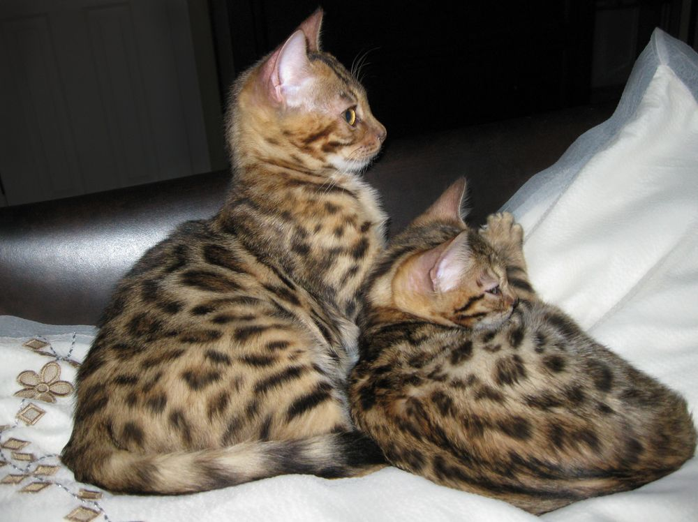 Free Bengal Kittens Pedigree Bengal Kittens For Sale Adoption From Superior Colorado Adams Bengal Kitten Bengal Kittens For Sale Bengal Cat