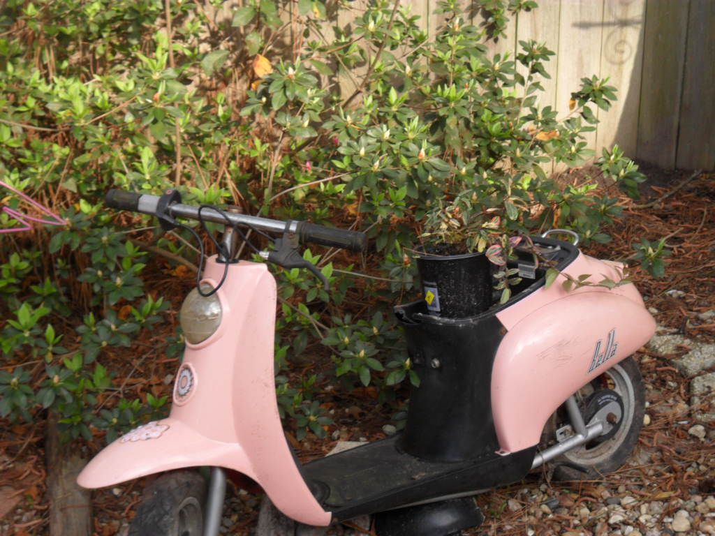 took my daughter\'s motorcycle, added plants, when the pink azalea ...