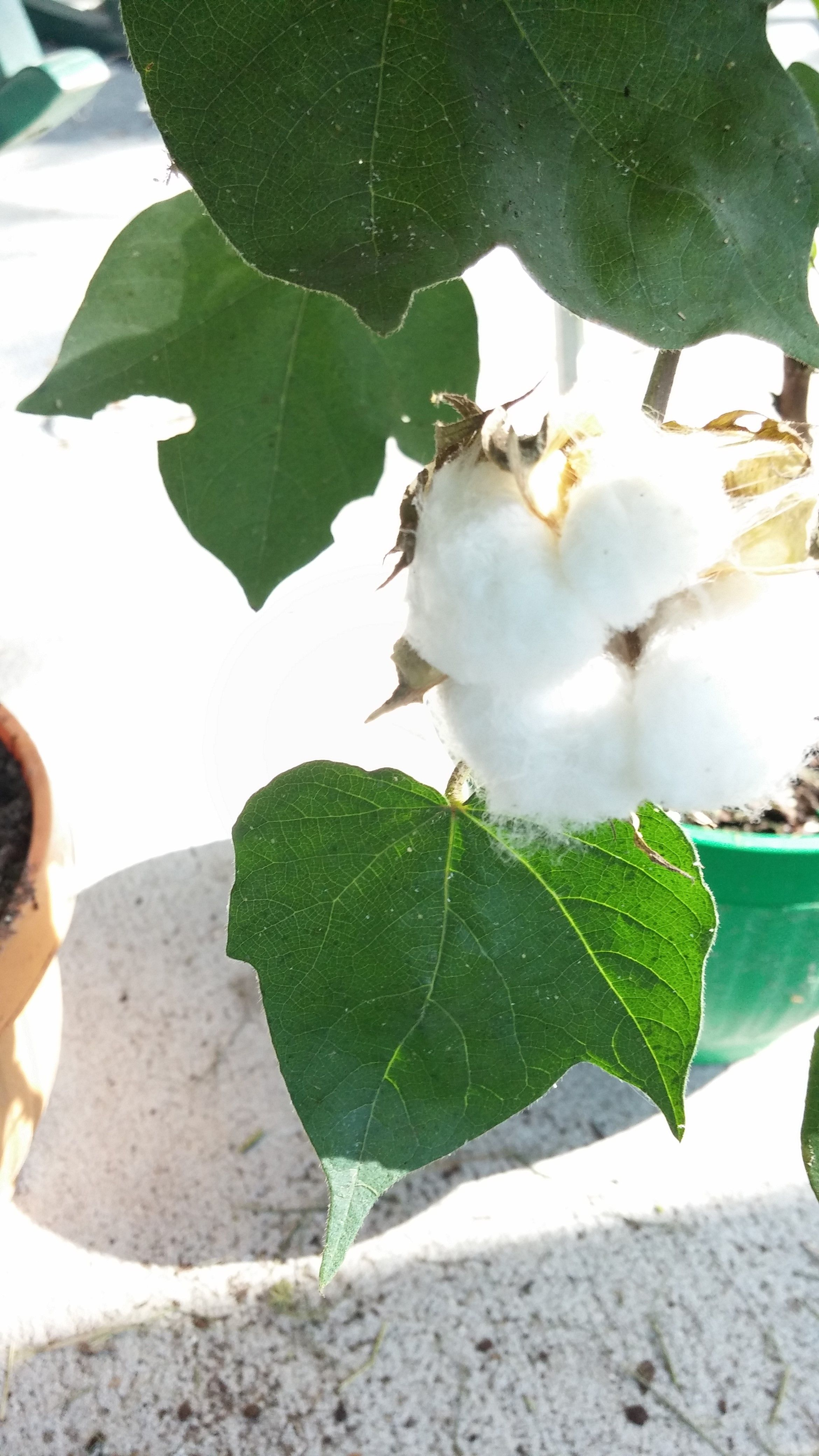 Cotton plant which was grown in the school garden lake