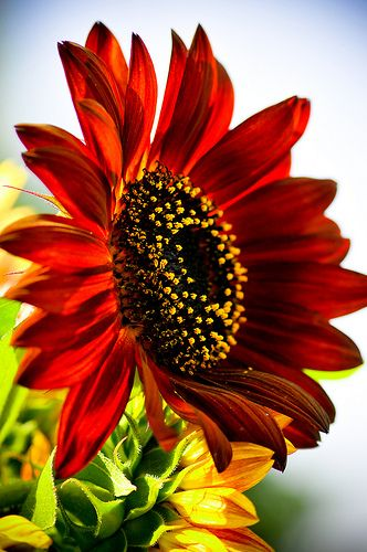 Red Sunflowers Flores Girasoles Y Cuadro De Flores