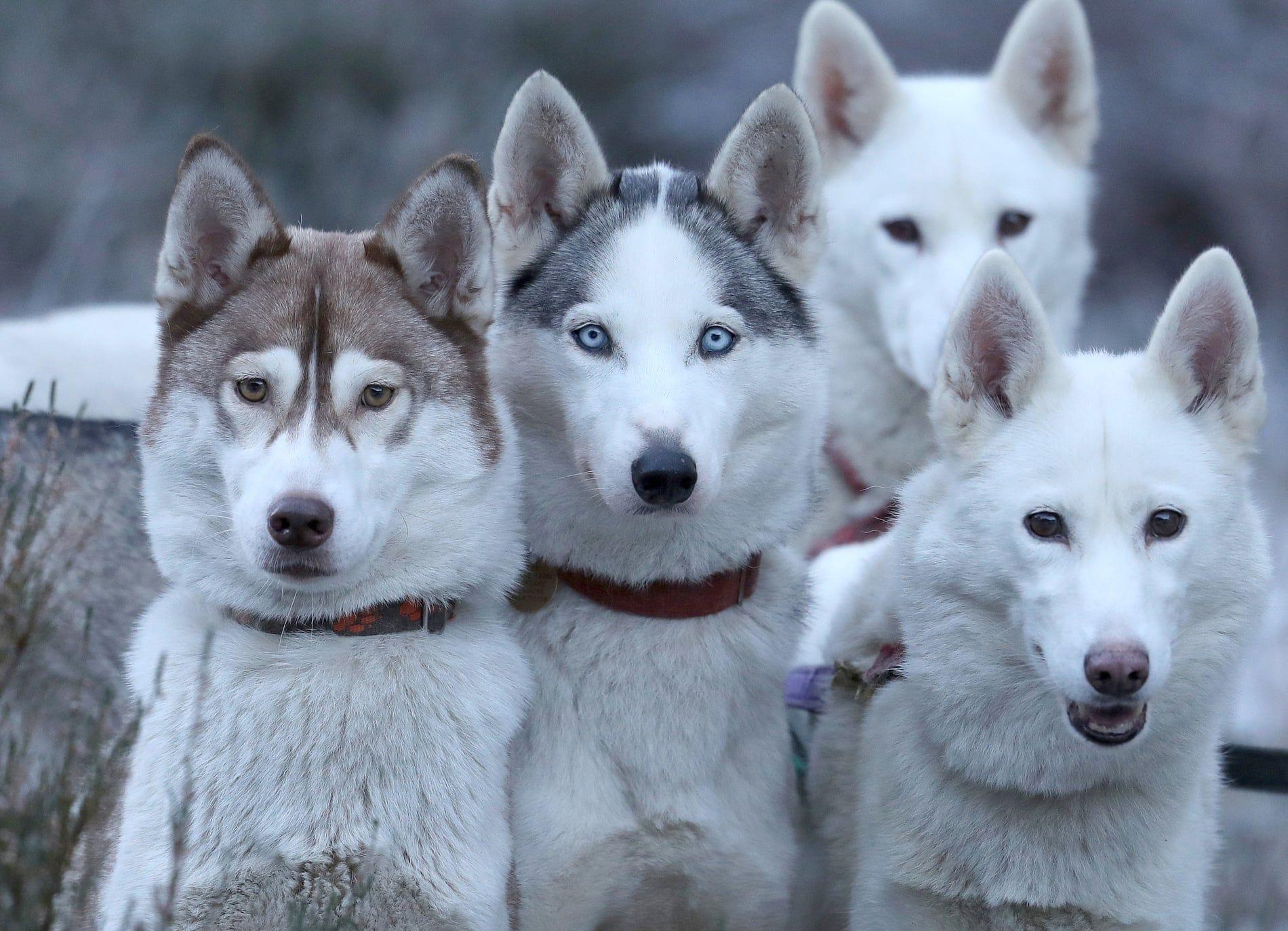 Husky dogs training session at Feshiebridge, Scotland