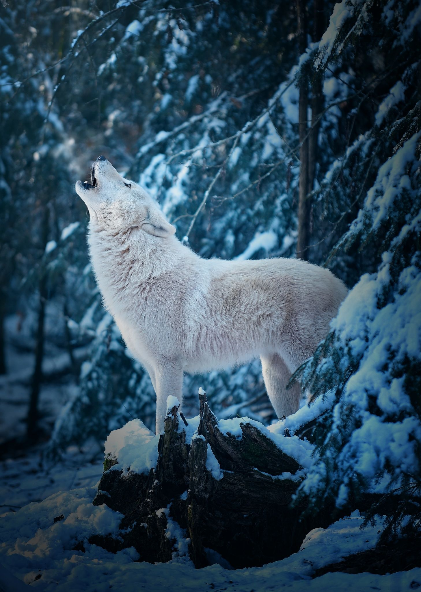 The cold winter days show the Artic wolves in their beauty ...