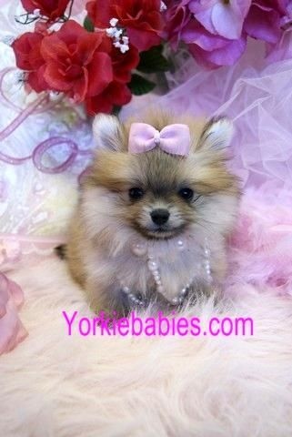 This Is A Tea Cup Pomeraninan Pup With Images Pomeranian
