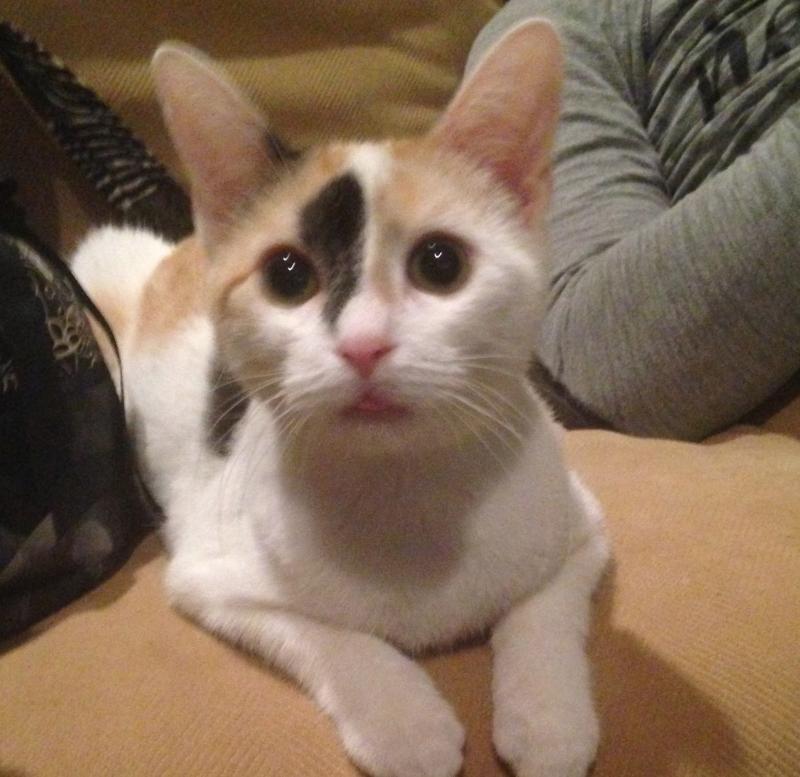 Adopt Caramel On Petfinder Cat Adoption Orange And White Cat Pets