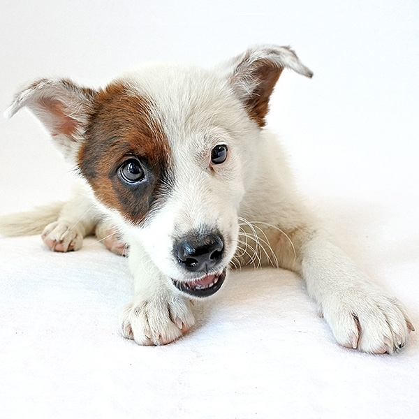 Adopt Nelson On Australian Cattle Dog Pet Search Humane Society