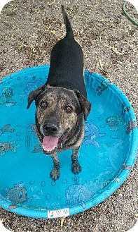 Bluetick Coonhound German Shepherd Dog Mix Dog For Adoption In