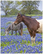 Almost too pretty to be real! Horses in Bluebonnets near Marble Falls, TX by Rob Greebon.