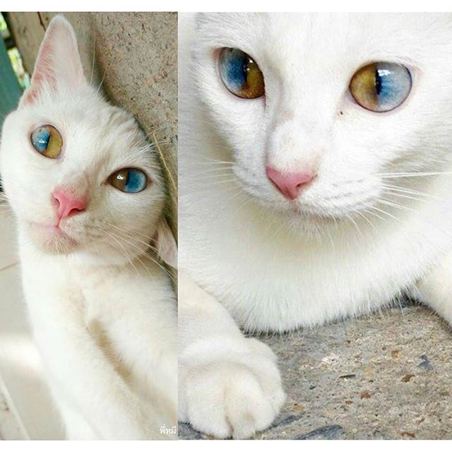 This Beautiful Cat Has Sectoral Heterochromia Where The Iris - This cat has the most amazing multi coloured eyes ever