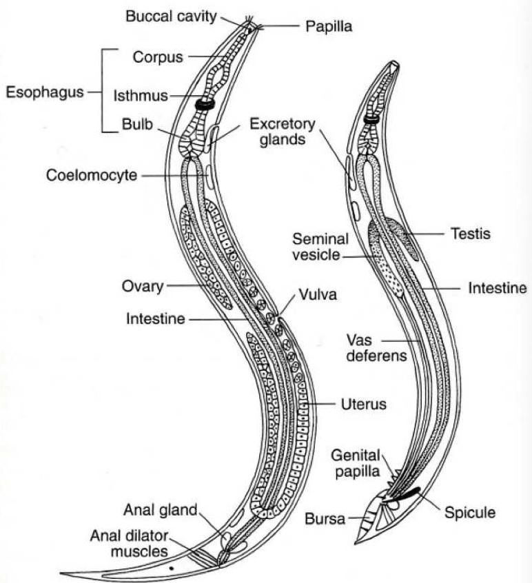 pin by hunter simmons on phylum nematode pinterest