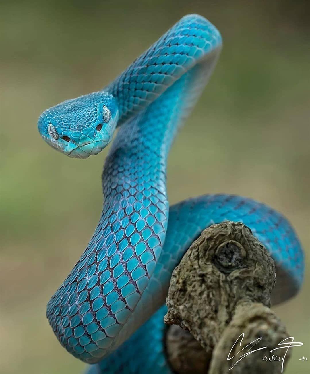 Le Serpent Le Plus Dangereux Du Monde : serpent, dangereux, monde, Animaux, Dangereux, Monde, L'Homme, Animaux,, Photos, Serpent,, Vipère