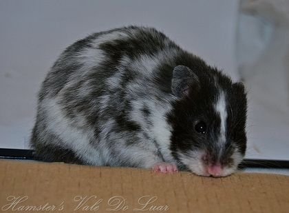 Syrian Hamster Black And White Long Haired Syrian Hamster Syrian