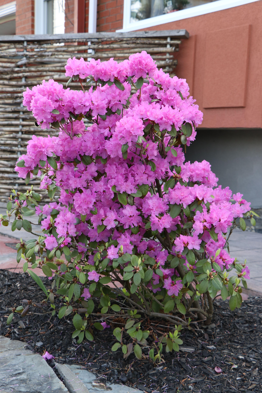 Bordure De Plate Bande De Jardin > Nos Rhododendrons Sont En Fleurs Et Ils Sont Magnifiques Nous
